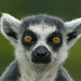 Lemur (D2A_9080) by swh
