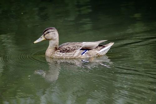 solo duck.jpg