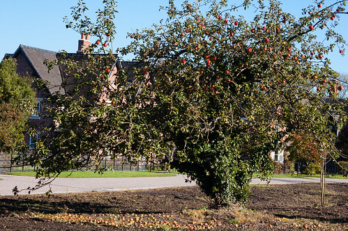 Apple tree - Burnhill Green