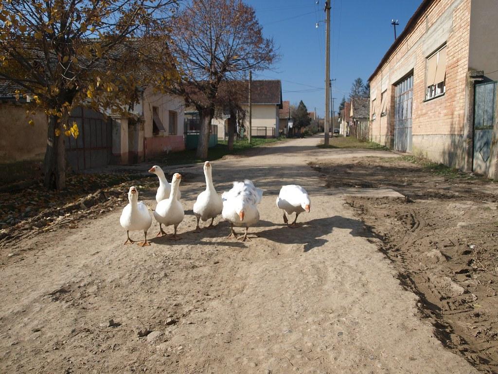Резултат слика за vojvodina i guske