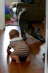 sequoia pursues a cat named dingleberry    MG 1234