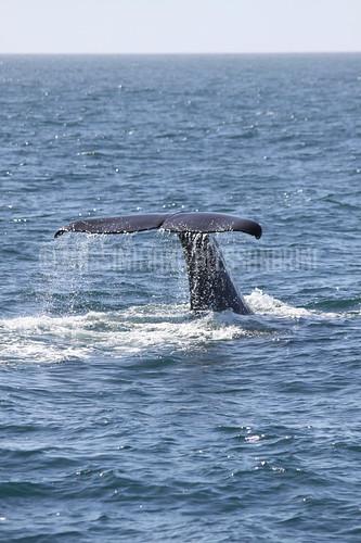 NEW ZEALAND:  Kaikoura Whale Watching_IMG_5846