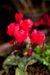 annual plant, flower, leaf, red, plant, macro photography, flora, cyclamen, close-up, petal,
