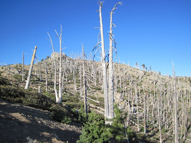 Dead trees on the way to Ontario Peak