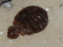 Found One Bedbug I Rent A Room
