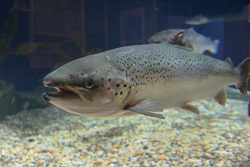 Atlantic salmon at Maritime Aquarium