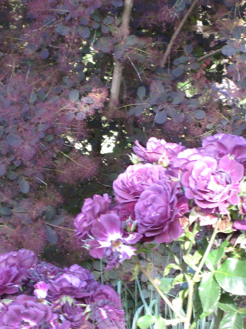Ebb Tide Rose And Purple Smoke Bush Tree Flickr