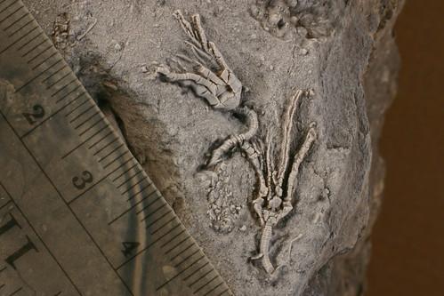 Ampelocrinus mundus? (crinoids)