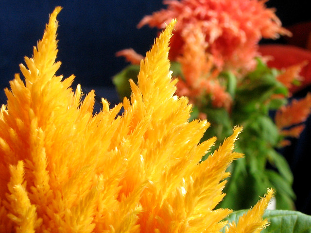 Fluffy Yellow And Red Flowers Flickr Photo Sharing