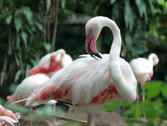 Flamingo Dusit Zoo