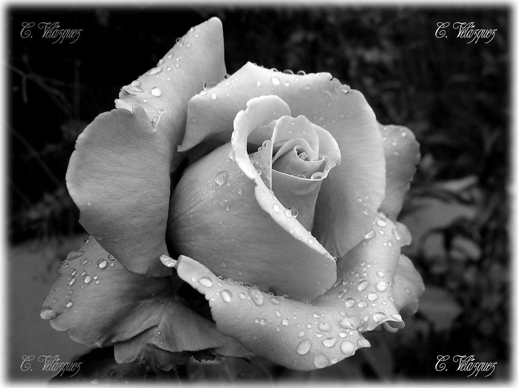 Flores Blanco Y Negro 01 Carlos Velázquez Flickr