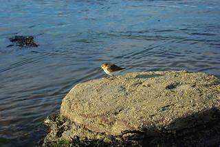 20090828-99_Sanderling [or similar]_Boggle Hole Beach