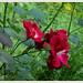 Private gardens/gaerten- branrose