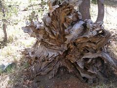 tree stump(0.0), root(1.0), leaf(1.0), wood(1.0), tree(1.0), plant(1.0), trunk(1.0),