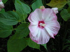 annual plant, flower, malvales, wildflower, flora, chinese hibiscus, petal,
