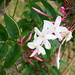 Pink Jasmine - Photo (c) Bri Weldon, some rights reserved (CC BY)