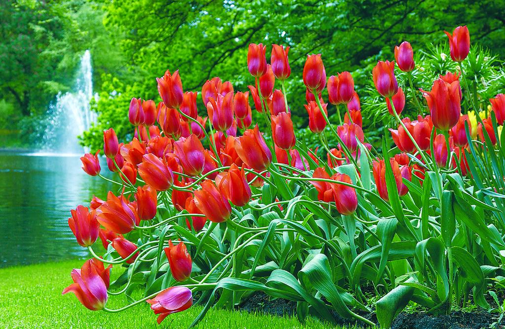 Tulipes dans le jardin de Keukenhof près d'Amsterdam - Photo de Viator.com.