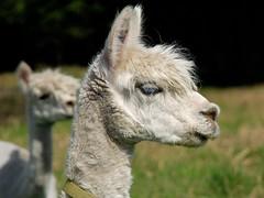 arabian camel(0.0), alpaca(1.0), animal(1.0), mane(1.0), llama(1.0), fauna(1.0), close-up(1.0), camel-like mammal(1.0),