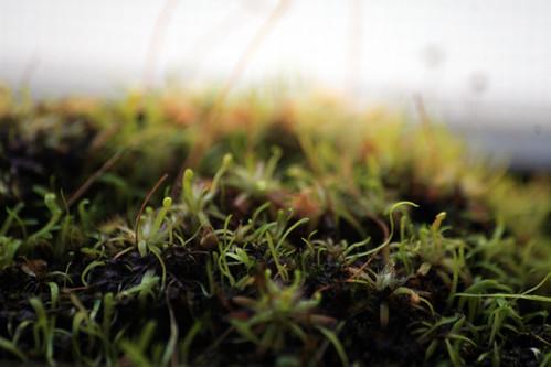 Drosera nitidula x pulchella
