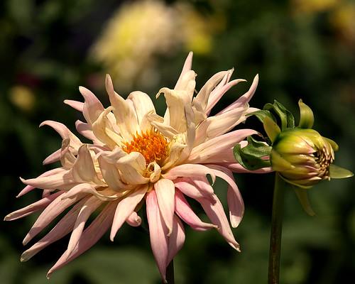 dahlia flowers landscape bravo nursery ct excellence thegarden naturesfinest aswpix woodebury
