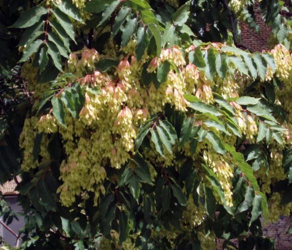 Ailanthus altissima 5109339425_50be469a9e_o