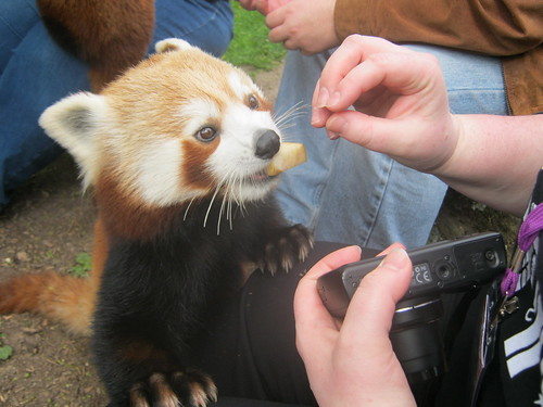red panda eating fruit