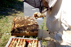 wood, invertebrate, membrane-winged insect, beekeeper, bee, beehive,