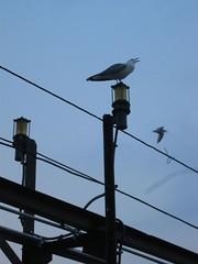 A sea gull calling