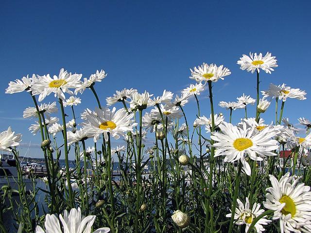 daisy field mountain sky - photo #14