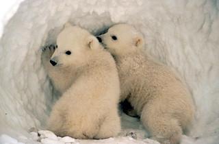Polar bear cubs.