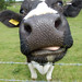 Silly Cow - now over 73,000 views! by whitbywoof