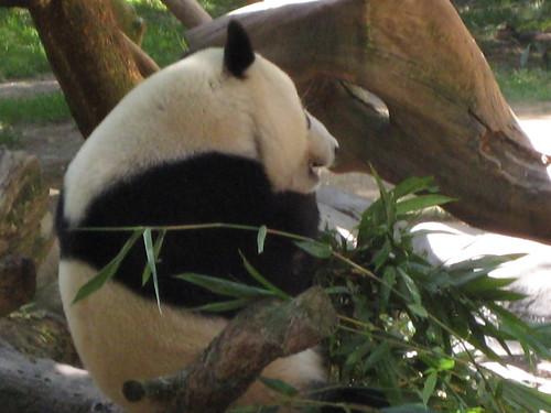 Panda chowing
