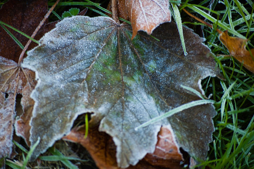 Autumn leaf with frost