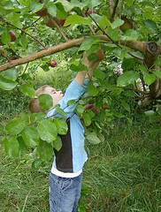 ReachingForApples by Lyme Nursery