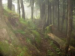 Forest Musk Deer