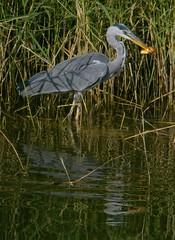 wetland, swamp, animal, fauna, little blue heron, reflection, great egret, heron, pelecaniformes, beak, bird, wildlife,