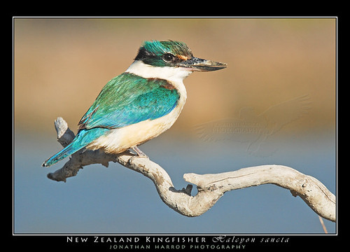 NZ Kingfisher (Kotare)