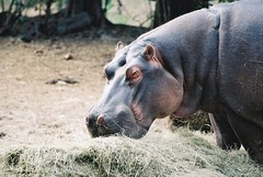 Hippo that came to camp to be fed