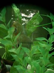 iguania(0.0), reptile(0.0), tree frog(0.0), jungle(0.0), iguana(0.0), scaled reptile(0.0), chameleon(0.0), animal(1.0), green(1.0), fauna(1.0), freshwater aquarium(1.0),