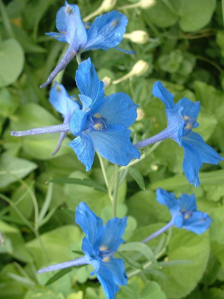 Urban Oasis: Blue Butterfly Delphinium