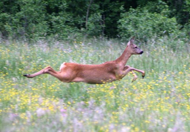 roe deer - female