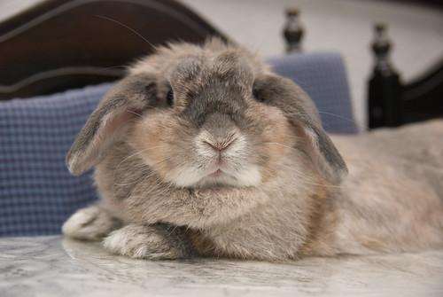 pet rabbit bunny animal mammal singapore opal 兔 hollandlop andora 兎 lagomorph opalhollandlop