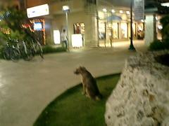 dog in saipan