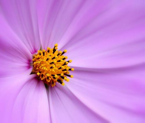 photo macro fleur violet rose