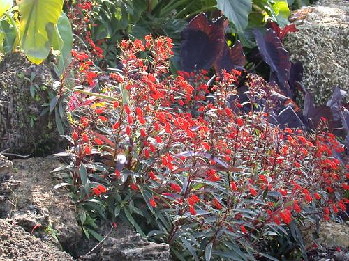 Seemannia sylvatica