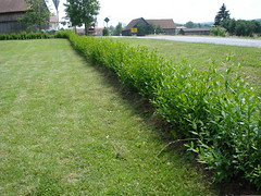 liguster ligustrum vulgare atrovirens pflanzen blog. Black Bedroom Furniture Sets. Home Design Ideas