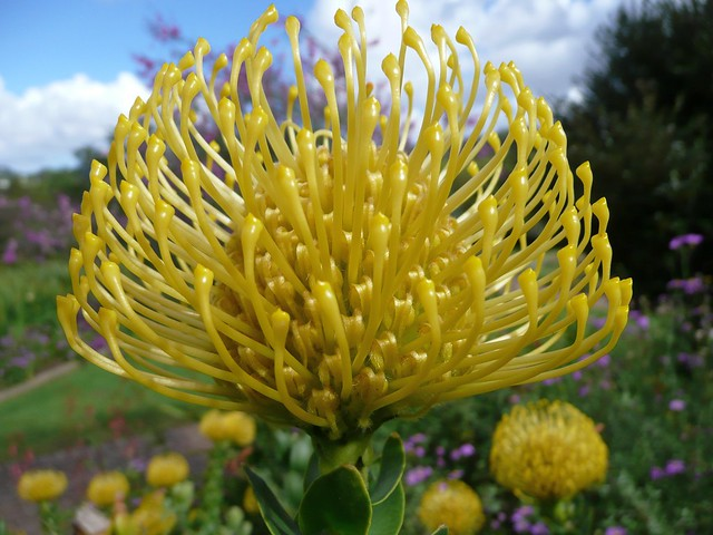 Pincushion Protea Pincushion Protea | Fl...