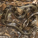 Western Rat Snake - Photo (c) Todd Pierson, some rights reserved (CC BY-NC-SA)
