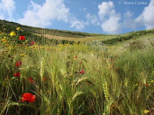 Poppies and Daisies in a Barley Field
