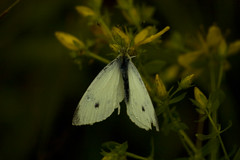 pollinator, animal, moth, moths and butterflies, butterfly, flower, leaf, yellow, plant, nature, invertebrate, macro photography, flora, green, fauna, cabbage butterfly, close-up, petal,